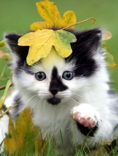 An adorable black and white kitten and lots more cute and funny cat pics