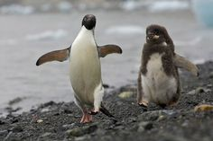 Ice and Penguins by Tim Laman 4