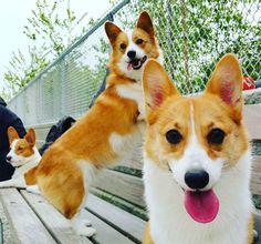 The tongue out sisters! @ambienttechno4afternoons #corgis #corgilove #corgilife #corgiaddict  #leelathecorgi  #corgstagram #corgtacular #welshcorgi #pembrokewelshcorgi #puppy #puppies #puppylove #cute #cuteness #cutenessoverload #dogs #instagramcorgis #corgisofinstagram #dogsofinstagram #dogstagram #photooftheday #shortlegs #코기스타그렘 #개스타그렘 #웰시코기 #강아지 #コーギー #子犬 #柯基犬 #小狗