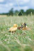 Baby chick and ducklin... - Fine Art prints