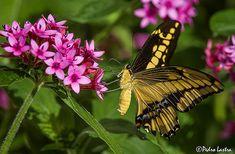 Thoas Swallowtail Butterfly feeding on Egyptian StarClusters, Wings of the Tropics, Fairchild Tropical Botanic Garden.