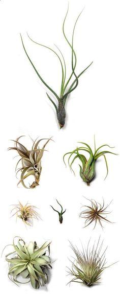 Air plants or Tillandsia, a botanic trend
