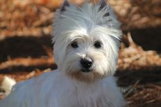Westies Puppies For Sale & Upcoming West Highland Terrier Litters   Arrowhead Acres