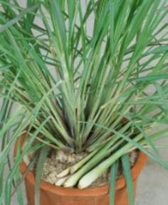 Tips for growing lemongrass indoors and outside.  Great for keeping mosquitos away!
