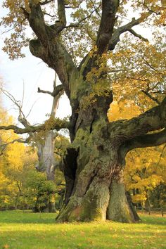 Oak – the king of trees. Oak symbolizes fire, longevity, power and protection. Staying under the oak strengthens natural powers of man. by black-amber Landscape Photos, Landscape Art, Landscape Paintings, Old Oak Tree, Old Trees, Giant Tree, Big Tree, Unique Trees, Tree Trunks