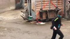 Zookeepers at Emmen Zoo in the Netherlands had to take drastic measures when this rhino tried desperately to escape. The rhino was being transported to a new zoo and attempted to barge through the metal bars keeping him in his cage.
