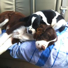 My sweet English springer spaniels after a vet visit. Morgan is the liver/white and Maverick is the black/white. I love them! :)