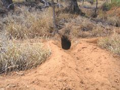 A 'runway' into a wombat burrow Photo: EHP