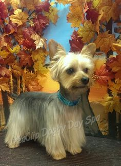Kodie a Yorkie in Asian style trim with ear fringe and short topline Spa Day, Asian Style, Yorkie, Puppies, Horses, Dogs, Pictures, Canada, Ear