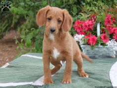 beagle poodle mix