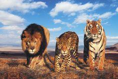 felinos selvagens Vetor