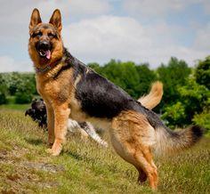 Classic german shepherd pose.
