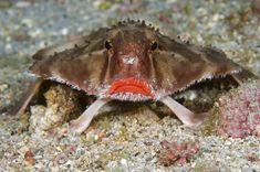 A Cocos batfish - also known as a rosy-lipped batfish (Ogcocephalus porrectus) - is pictured in waters off Cocos Island, Costa Rica