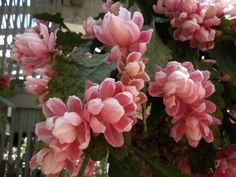 Double flowered Epiphyllum