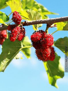 When Pyramus and Thisbe stabbed themselves, their blood splattered on the white berries of the mulberry tree in Ninus's tomb. In honor of their tragic love, the gods permanently changed the color of the berries to red. Mulberry Fruit, Mulberry Tree, Pyramus And Thisbe, Red Giant, Red Berries, Eat Right, Small Flowers, Dinner Plates, Raspberry