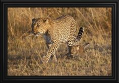 Mother Leopard With Her Baby Cub, Masai Mara, Kenya Africa