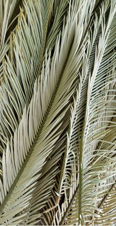 Beach Discover Dried Palm Fronds - Dried Sago Palms - Dried Palm Leaves - Desert Decor - Palm Leaf - Palm Foliage - Natural Decor - Boho Decor - Home Decor Aesthetic Backgrounds, Aesthetic Iphone Wallpaper, Aesthetic Wallpapers, Photo Wall Collage, Picture Wall, Sago Palm, Boho Aesthetic, Desert Aesthetic, Aesthetic Vintage