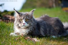 Maine Coon cat by Karolina Demczuk Maine Coon Kittens, Cats And Kittens, Kitty Cats, Outdoor Cats, Black Smoke, All About Cats, Gentle Giant, Cat Breeds, I Love Cats