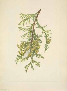 Image result for arborvitaes drawing