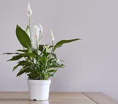 Top 10 Indoor Plants Best Indoor Trees, Best Indoor Plants, Indoor Plants Clean Air, Air Cleaning Plants, Air Plants, House Plants Decor, Plant Decor, Begonia, Peace Lily Plant
