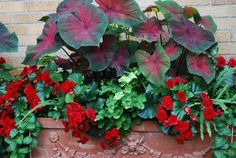 red begonias and caladiums