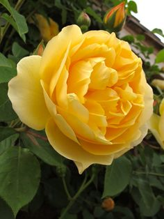 Graham Thomas ~ Climbing Rose