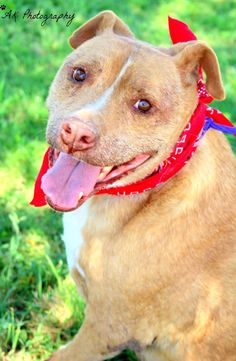 11/10/15*****10/13/15-Meet Cher, a Petfinder adoptable Pit Bull Terrier Dog | Lubbock, TX | Hi, I'm Cher!!I don't mean to brag or nothin', but ask anyone that knows anything at the Haven, and...