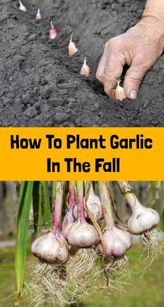 Fall is sneaking up on us quickly, which means it's time to get digging in the garden to plant your garlic! Garlic is one of the few crops that you plant in the fall in Autumn Garden, Easy Garden, Edible Garden, Fruit Garden, Growing Vegetables, Growing Plants, Fall Planting Vegetables, Planting Garlic In Fall, Planting Onions