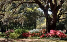 Azaleas, Live Oaks and Spanish Moss at Eden Garden State Park, Northwest Florida ♥ #travel
