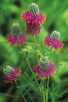"""Pink and Green - """"Purple"""" Prairie Clover adds nitrogen to the soil naturally. This little legume has it all: gorgeous purple and gold flowers, elegant foliage, plus it fertilizes your prairie naturally with Nitrogen that it takes from the air Purple Flowers, Pretty Flowers, Wild Flowers, Plants, Growing Gardens, Amazing Flowers, Native Plants, Love Flowers, Prairie Flower"""