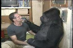 Il gorilla Koko e Robin si incontrano. Video toccante.