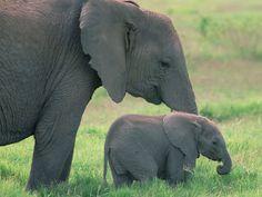 Elefantes Fotos e Imagens - Imagens de Animais