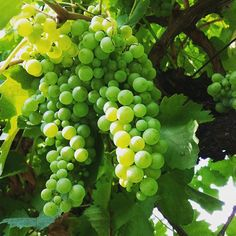 #Prosecco grapes are on the way 🍾