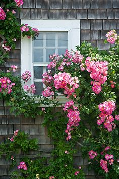 Nantucket houses are literally covered in climbing roses      ...photoblog.melissaoshaughnessy.com