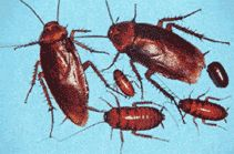 Cockroaches and Other Insect Pests Waste products and rotting bodies from insect pests including cockroaches are the source of many allergens. Cockroach allergens are found in household dust and can become airborne. Studies have shown the higher the concentration of cockroach allergen, the more asthma symptoms children experience.
