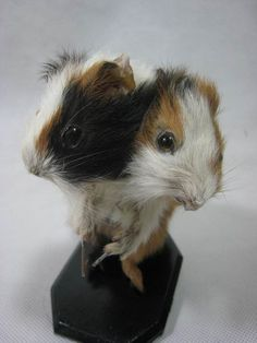Taxidermy 2 head guinea pig for sale ideal birthday gift ever on Etsy, £35.19
