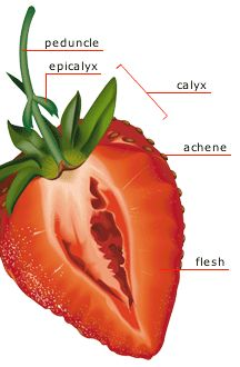Visual dictionary - plant science, flower anatomy