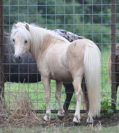 409 Best Mini Horse Sale Images In 2019 Horse Sales Mini Horses