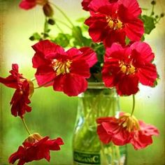How to Grow & Use Nasturtiums - tips for growing, culinary and medicinal uses for these amazing flowers. | The Micro Gardener