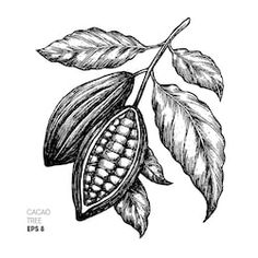 Find Cocoa Beans Illustration Engraved Style Illustration stock images in HD and millions of other royalty-free stock photos, illustrations and vectors in the Shutterstock collection. Plant Illustration, Graphic Illustration, Cocoa Plant, Cocoa Fruit, Plant Tattoo, Chocolate Pictures, Plant Vector, 1 Tattoo, Plant Drawing