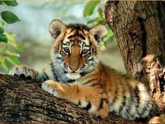 Baby Animals images tiger cub wallpaper and background photos . The Animals, Jungle Animals, Animals Images, Cute Baby Animals, Animal Pictures, Funny Animals, Beautiful Cats, Animals Beautiful, Pretty Animals