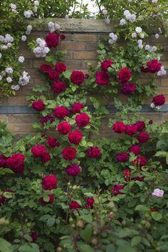 Roses climb a brick wall