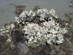 An abandoned crab pot found near Beaufort is covered in oysters.