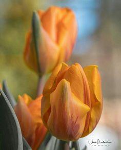 Jednom davno postojala je zemlja cvijeća i čarolija, gdje je oživjela priča o hiljadu i jednoj noći. Postojala je zemlja u kojoj su zaljubljeni muškarci birali senzualni poljski cvijet kako bi odali počast svojim ženama kao zalog vječne ljubavi. Ovaj čarobni cvijet rođen je u tužnoj i vječnoj ljubavi između mladog Širina i prekrasne Ferhade. ... Inspirational Quotes, Rose, Flowers, Plants, Life Coach Quotes, Pink, Inspiring Quotes, Plant, Roses