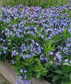 hortensia rabatt Amsonia Blue Ice (Amsonia is aka Blue Star. Sloped Garden, Ground Cover, Blue And Purple Flowers, Plants, Garden Problems, Flowering Ground Cover Perennials, Garden Planning, Landscaping Plants, Perennial Plants