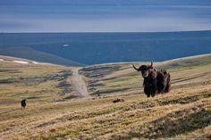 yak in Kyrgyzstan