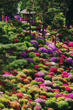 Colorful Azalea Bushes in Tokyo Japan