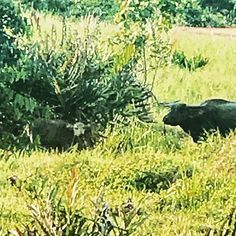 Never wise to get between a #mama #waterbuffalo and her #calf ************************.#travel #seetheworld #thailand #wildlife #getout #womenwhotravel #theworldisyours #becareful #openyoureyes #exotic #landscape #lovethelifeyoulive #tellyourstory