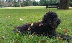 Dog Sitter required for Toy Poodle - Easter in Melbourne    House Sitter Needed   Location North Carlton, inner north, Melbourne VIC Australia  View location map  Availability Mar 28,2013  For 11 days | Short Term  Not a member?Join today to contact this home owner contact  melinda  Hi, I am looking for someone who loves dogs and loves Melbourne. Our art deco place is 3 kms from the centre of Melbourne and opposite Princes Park (picnics, dog walks, jogging track).