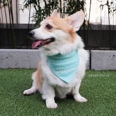 Say my name say my name  Thanks @bourne_wild_petwear for my custom bandana! Now the world will know my name  Shop: http://ift.tt/20arWxp --- #bwpetwear #sneakersthecorgi by sneakersthecorgi